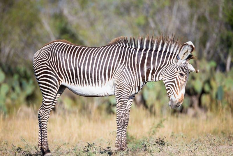 Junges Zebra, das mit Kopf unten steht stockfotografie