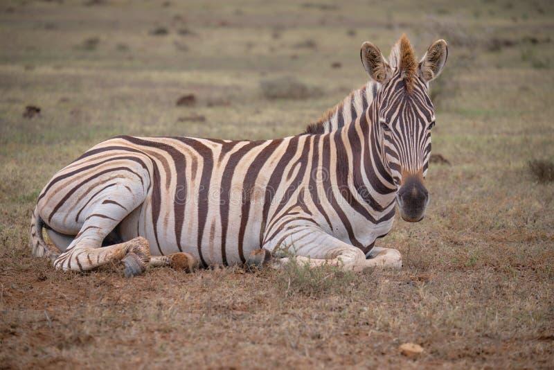 Junges Zebra im KAroo stockbild