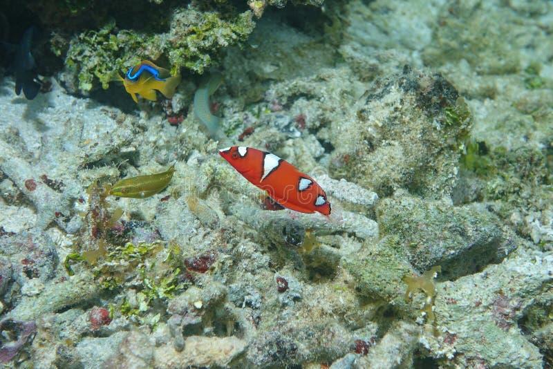 Jungfische Gelbschwanzwrasse Coris-gaimard lizenzfreie stockfotografie
