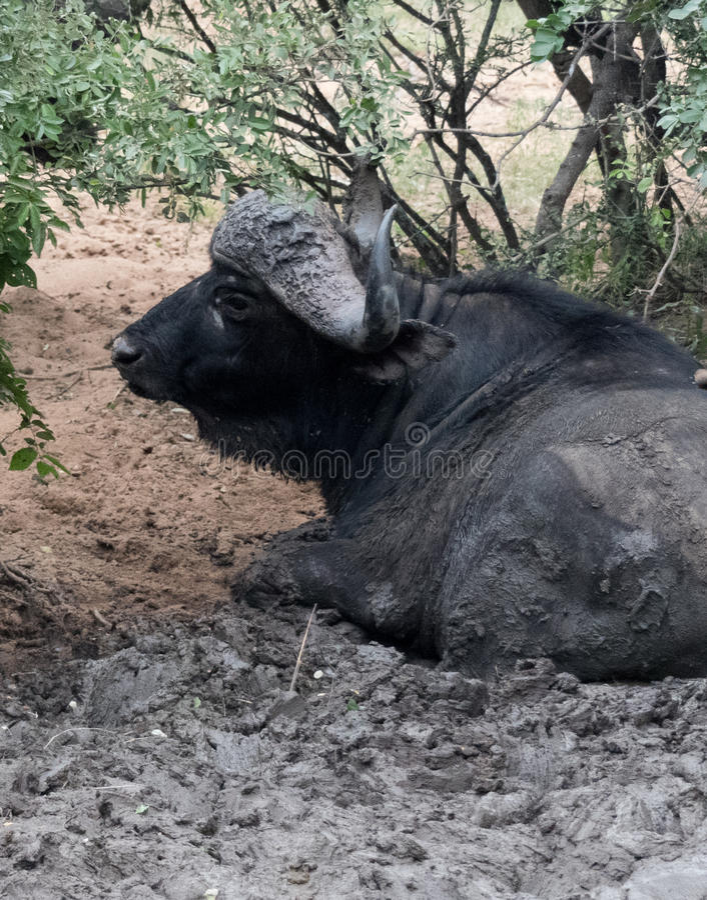 Junggeselle-Kap-Büffel stockfotografie