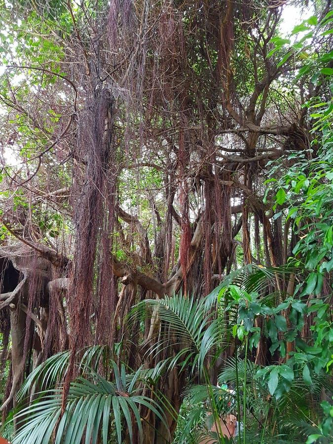 Download Jungle image stock. Image du brun, tropique, vert, jungle - 76090775