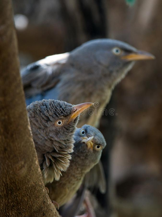 Download Jungle babbler. stock photo. Image of india, feathery - 15685860