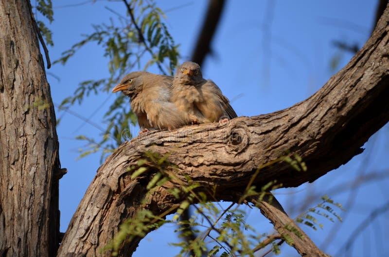 Jungle Babbler stock image