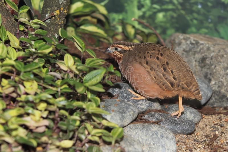 Jungle bush quail. Strolling on the rocks royalty free stock images
