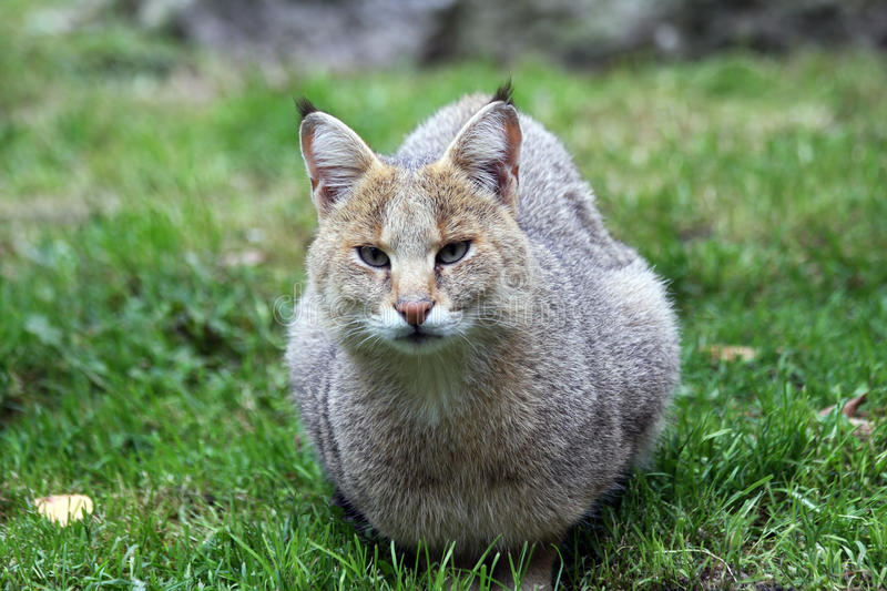 Jungle Cat Royalty Free Stock Photography