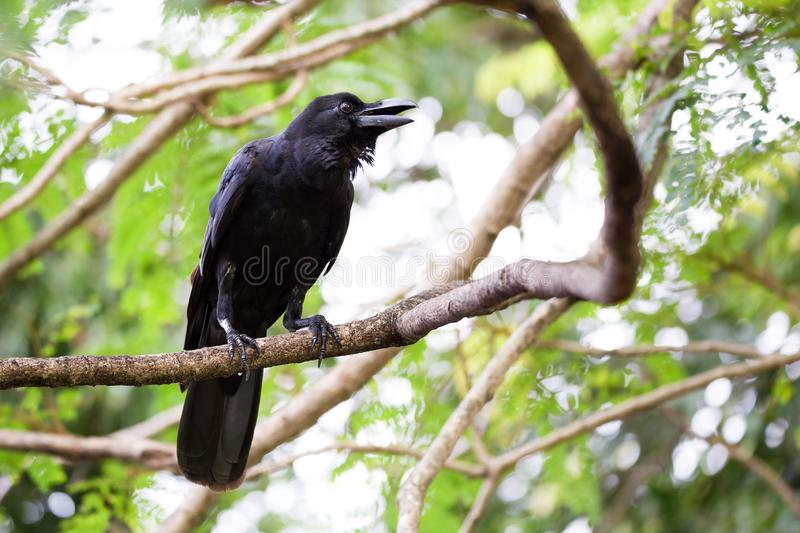 Jungle Crow Corvus macrorhynchos Calls From a Tree Top in Sri Lanka stock image