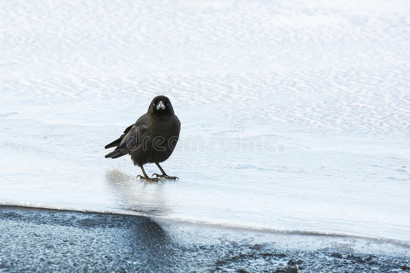 Jungle Crow Standing on Ice stock photos