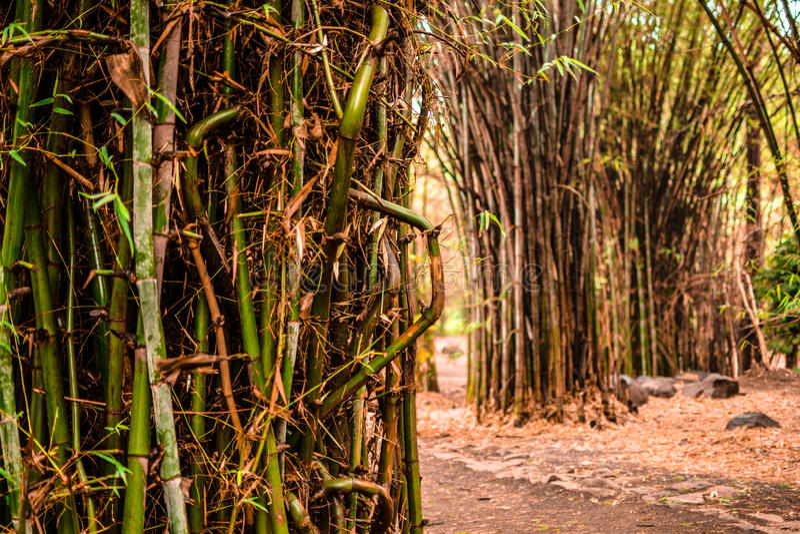 Jungle de bambous images stock