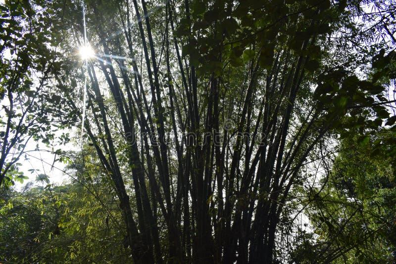 Jungle de bambous et lumière du soleil photos stock