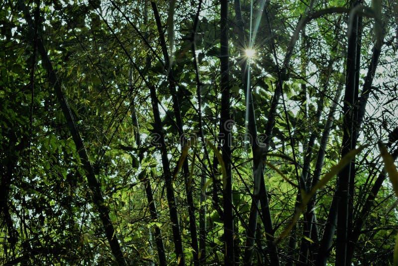 Jungle de bambous et lumière du soleil images libres de droits