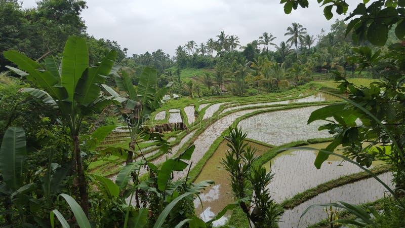 Jungle de gisement de riz photographie stock libre de droits