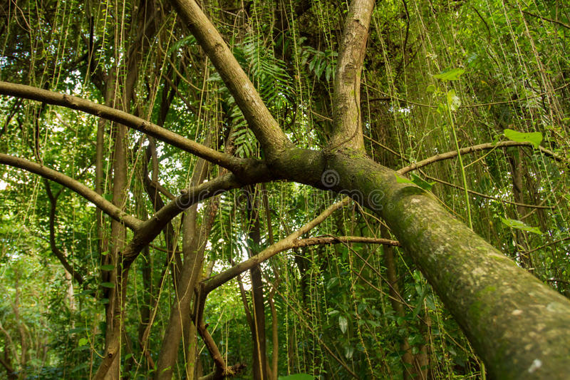 The jungle . Dense tropical forest stock photos