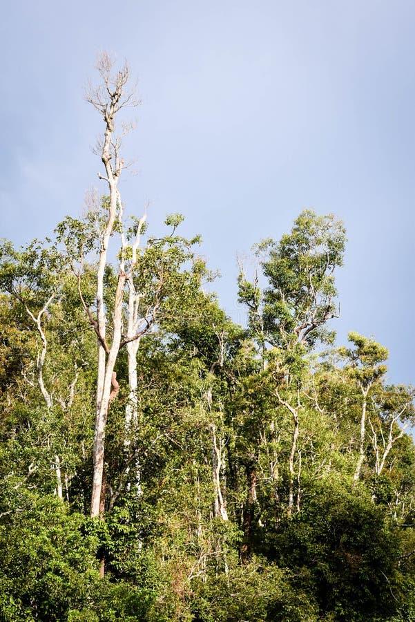 Jungle du Bornéo, forêt tropicale dans Tanjung mettant le parc national images libres de droits