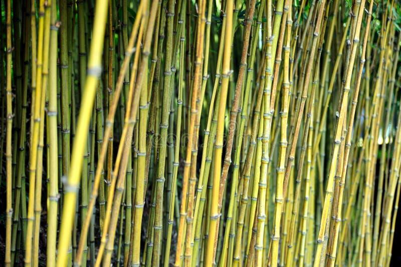 Jungle en bambou, Monte, Madère photos stock