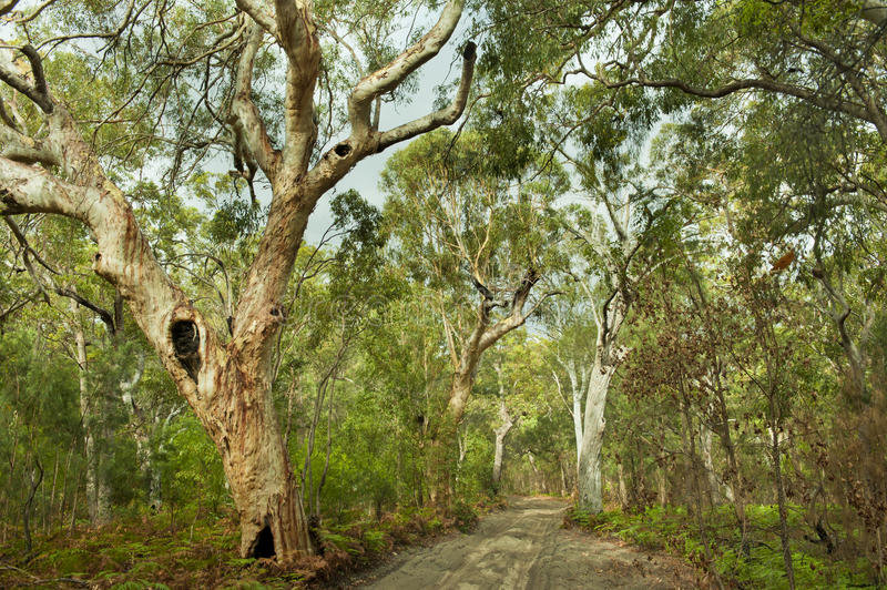 Jungle forest Fraser Island, Australia. Sandy way through jungle with giant eucalyptus trees at Fraser Island, Australi stock photo