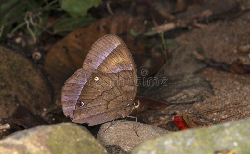 Jungle Glory Butterfly, Thaumantis diores, Garo Hügel, Meghalaya stockfoto
