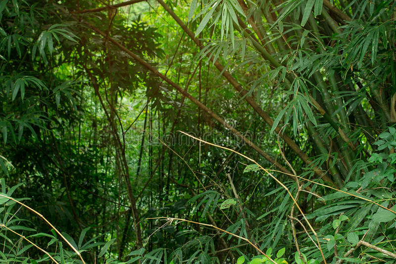 Jungle greenery with copy space area and warm humid airy sunlight flowing in from the top. Fresh air and green tropical trees and. Bushes paint a nice natural royalty free stock photography