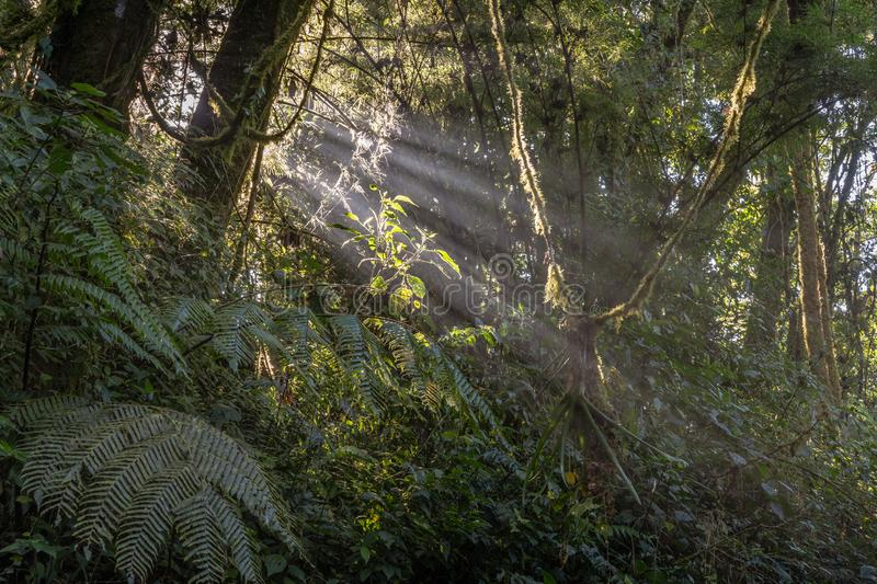 Jungle hillside with morning sunrays breaking through the trees. In the misty air of the Costa Rica`s Cloud Forest Reserve royalty free stock photo