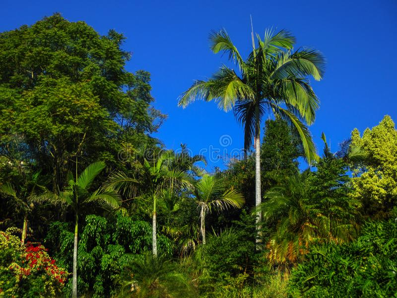 Jungle like landscape - Beautiful rainforest near Brisbane Queensland Australia with intensely blue sky and large trees stock image