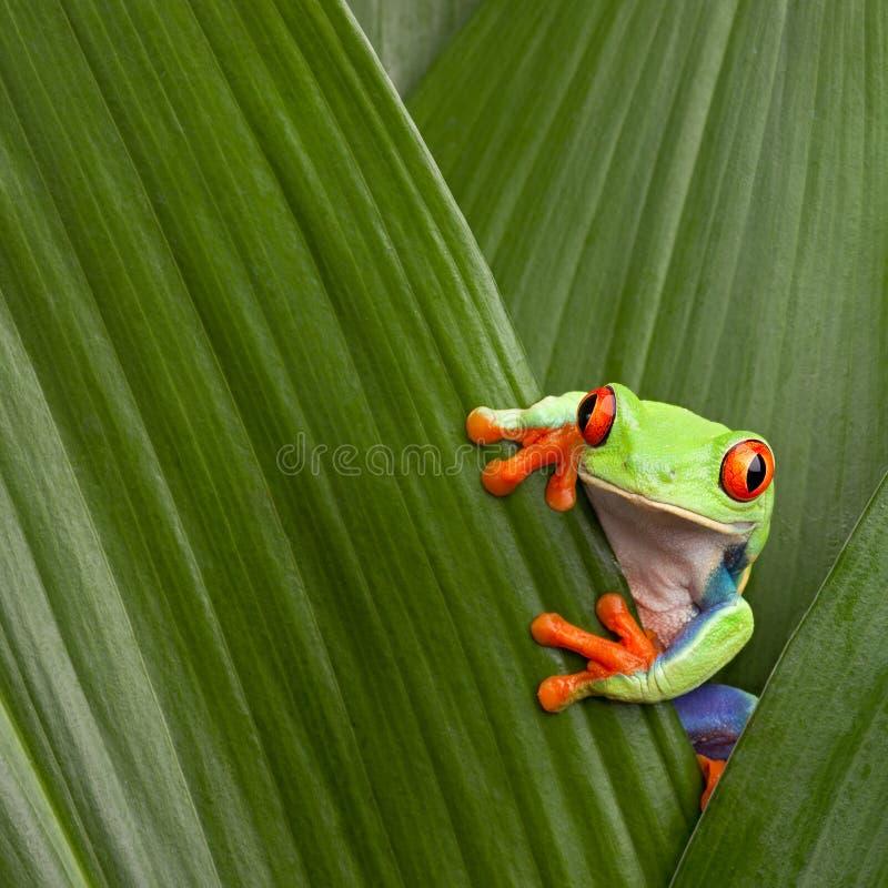 Jungle observée rouge du Costa Rica de grenouille d'arbre macro images libres de droits