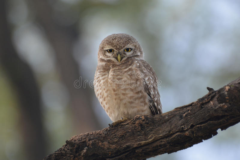 Jungle owlet. The jungle owlet, or barred jungle owlet, is found in the Indian Subcontinent. The species is often found singly, in pairs or small groups and are stock photos