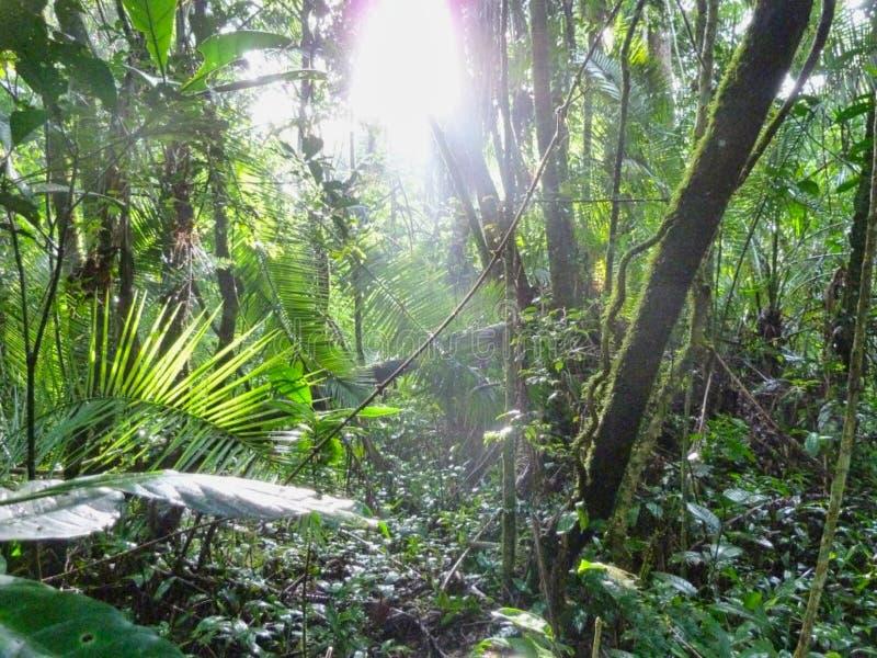 jungle profonde avec des rayons de soleil au sol images libres de droits