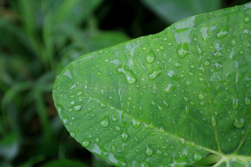 Jungle Rains on a Tropical Leaf. Rainy season, dainty rain gather like a community of ants on a massive, green leaf, firmly grasping the leaf as the sun begins stock photo