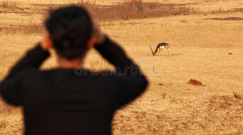 The jungle safari.. Blackbuck. Jungle safaris are a boon in India or Asia overall. On one such blackbuck safari, was this guy looking keenly at the lovely animal stock image