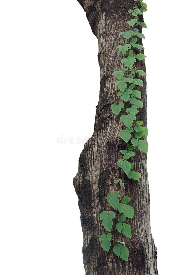 jungle sauvage Trois-leaved de trifolia de Cayratia de vigne ou de raisin de buisson photos libres de droits