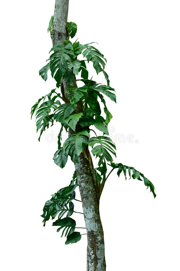 Jungle tree trunk with tropical foliage plants, climbing Monstera Monstera deliciosa and forest orchid green leaves growing in w royalty free stock photos