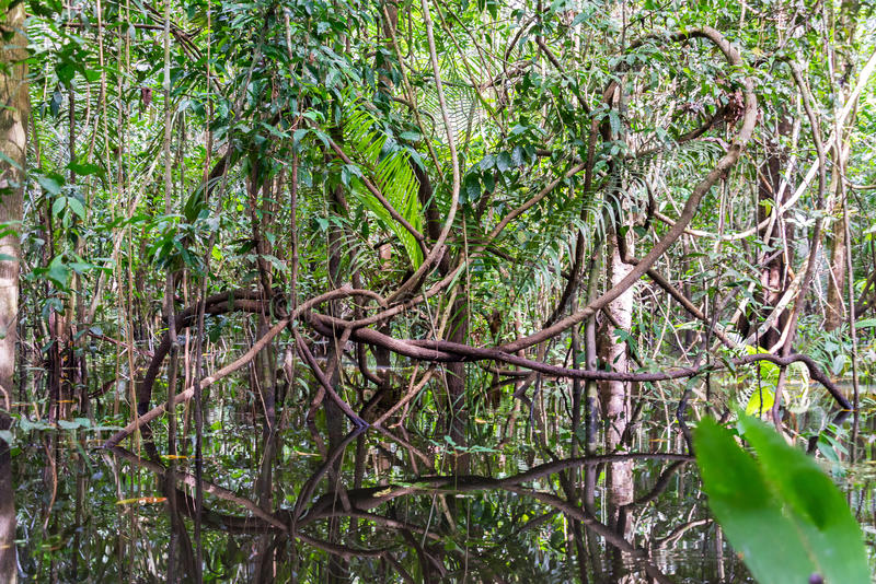 Jungle Vines stock image. Image of twisted, green, amazon ...
