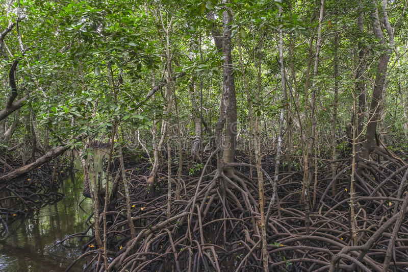 Jungle in Zanzibar. Mangrove forest in Jungle in National Park in Zanzibar . Tanzania . Africa royalty free stock photography