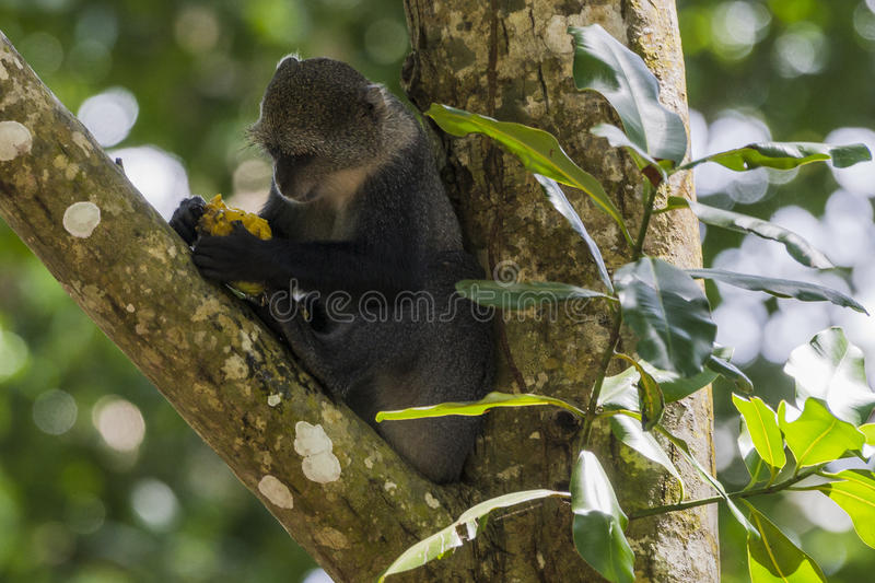 Jungle in Zanzibar. Jungle in National Park in Zanzibar . Tanzania . Africa. And eating Monkey on the tree stock photography