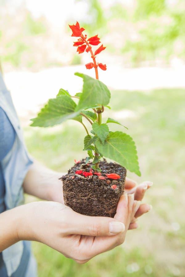 Jungpflanze bereit zum Sämling lizenzfreies stockfoto