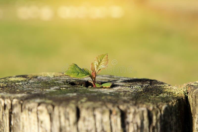 Jungpflanze, die auf Baumstumpf mit unscharfem grünem Hintergrund wächst Neues symbolisches Konzept des Lebens oder der Umwelt stockbilder