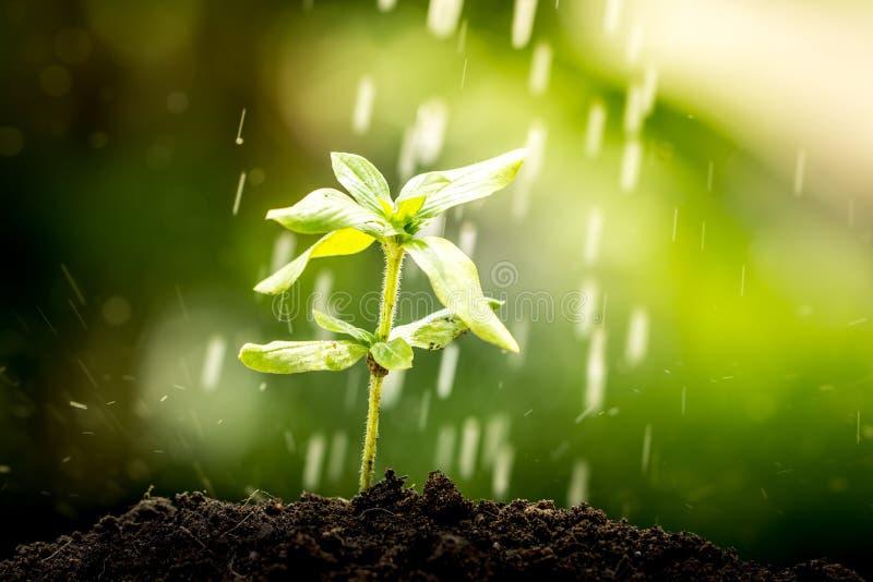 Jungpflanze, die im Boden auf Wassertropfen wächst stockfotografie