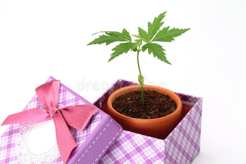 Jungpflanze in einer Geschenkbox lizenzfreie stockbilder
