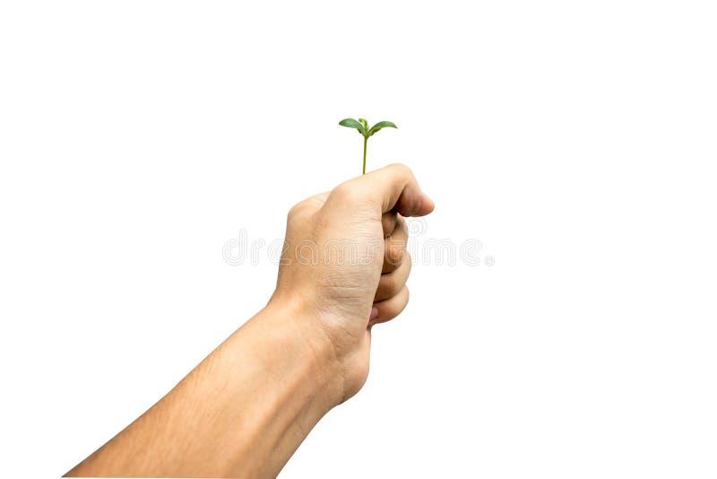 Jungpflanze an Hand lokalisiert auf weißem Hintergrund, Abwehrerde stockfoto