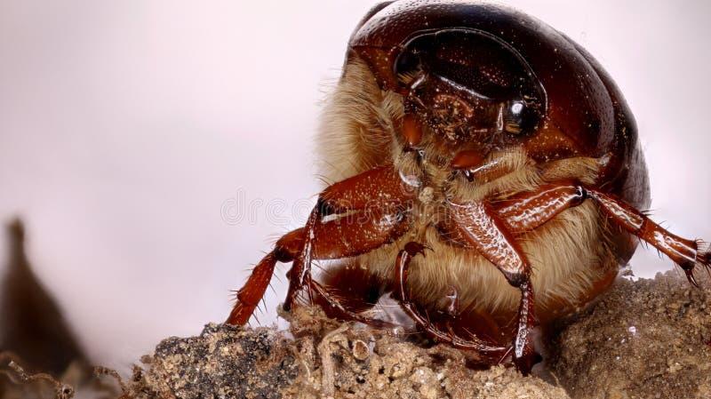 Juni-insect stock foto