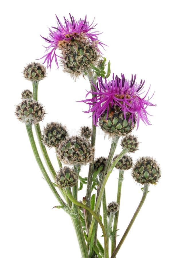 Juni ist der Zeitpunkt der Blüte und das Reifen des Scotti Klassikers stockbilder