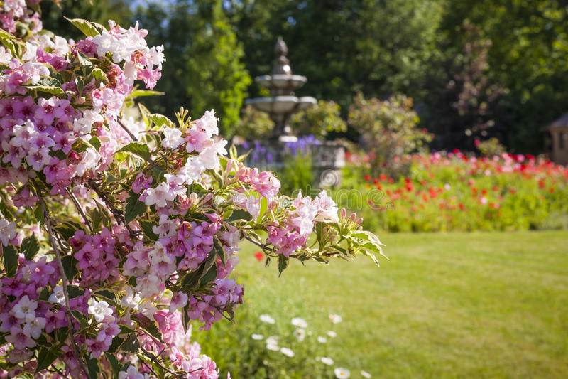 Juni-tuin met het bloeien weigela royalty-vrije stock fotografie