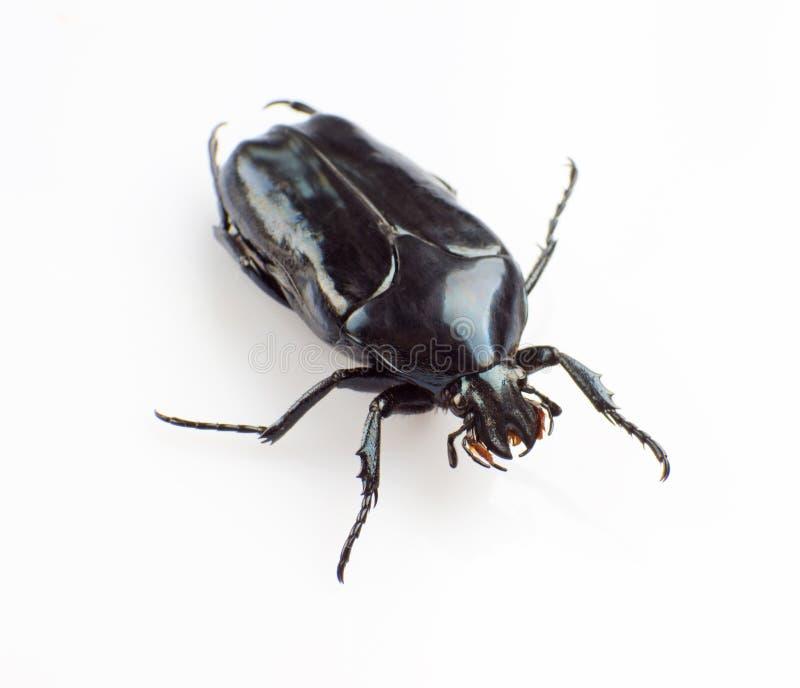 Download Junikever stock foto. Afbeelding bestaande uit insecten - 29501680