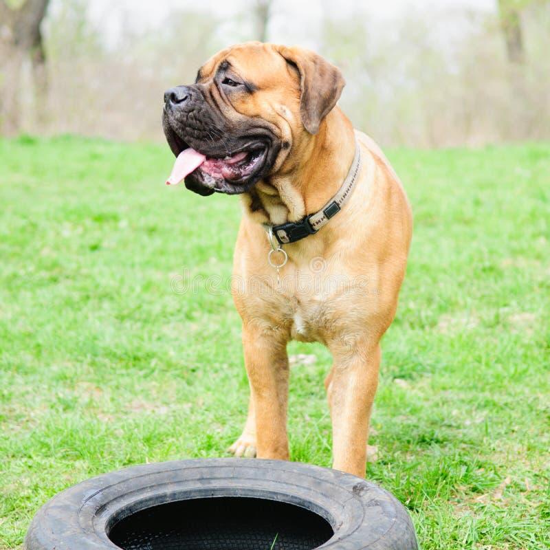Junior- Hund-bulmastiff stockbild