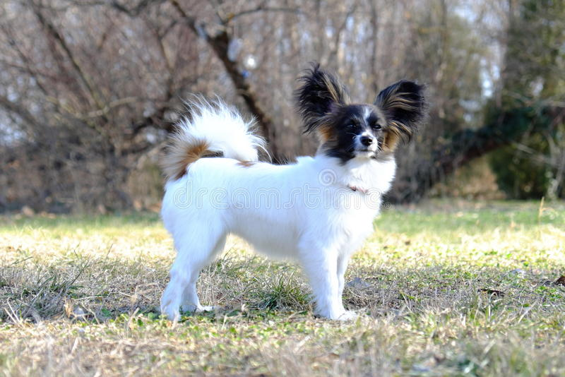 Junior-papillon Hund stockfotografie