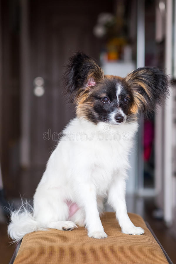 Junior-papillon Hund lizenzfreie stockfotos