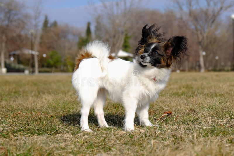 Junior-papillon Hund stockfotos