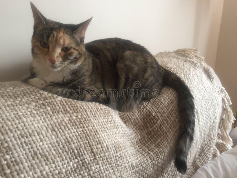 Junior Tabby Tortoishell Female Cat grazioso fotografia stock libera da diritti