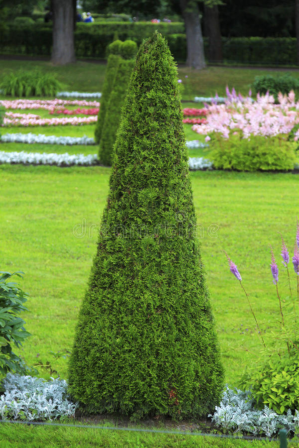 Download Juniper stock image. Image of grass, plant, coniferous - 26528845