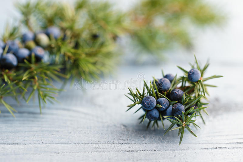 juniper foto de stock royalty free