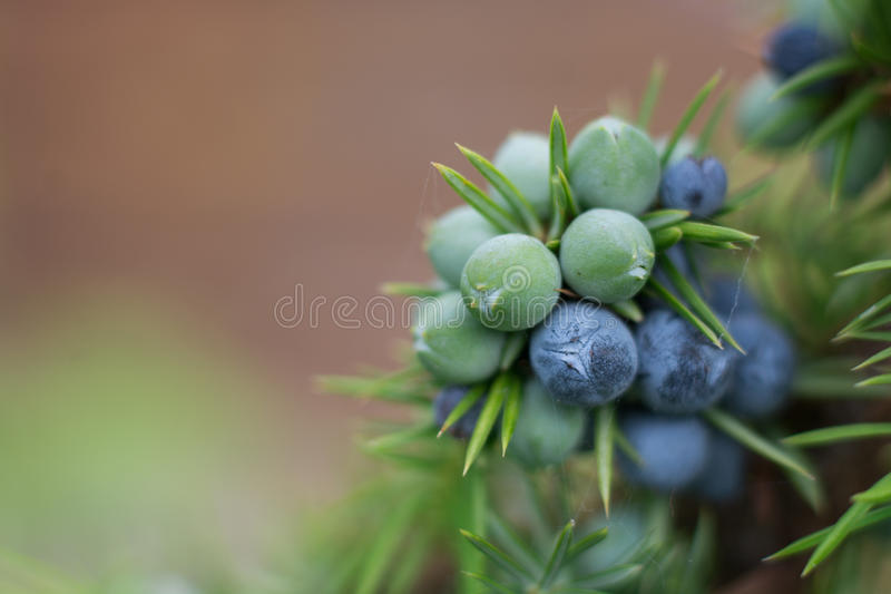 Juniper berries on a bush royalty free stock photo